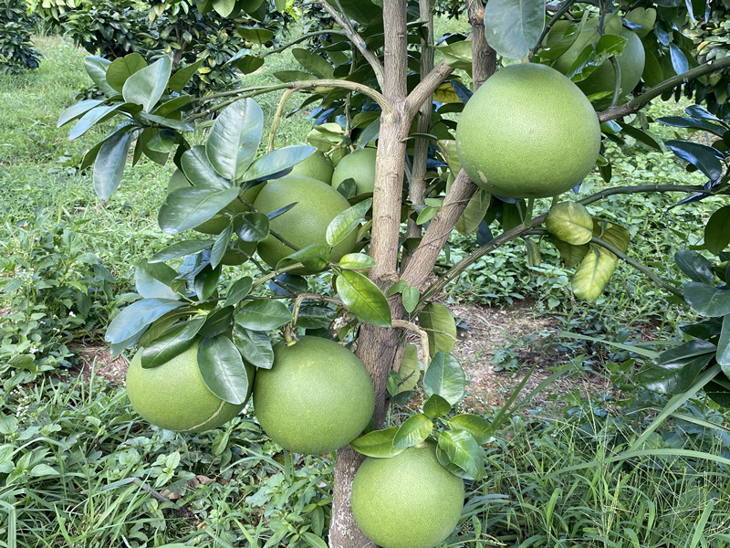 颗粒水溶肥-柚子