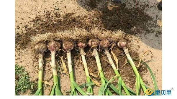 大蒜高产用什么肥料?
