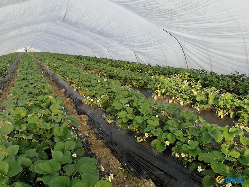 草莓幼果期冲什么肥