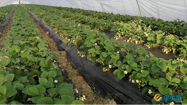 草莓幼果期冲什么肥?示范田实验