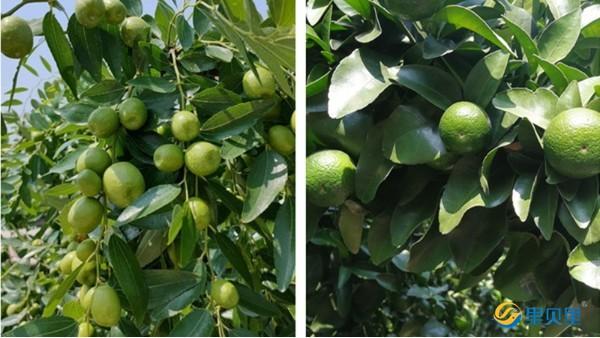 果树种植技术,科学管理更高产