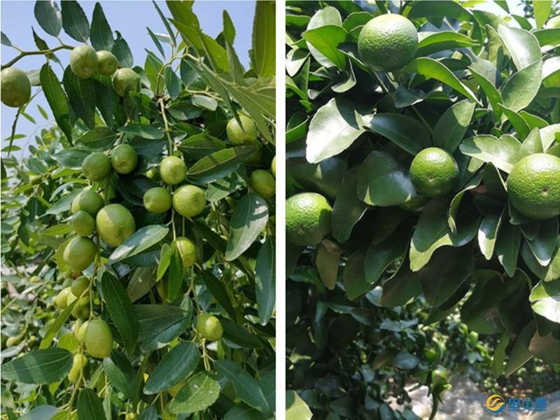 果树种植技术