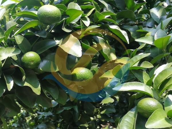 水溶肥品牌-柑橘