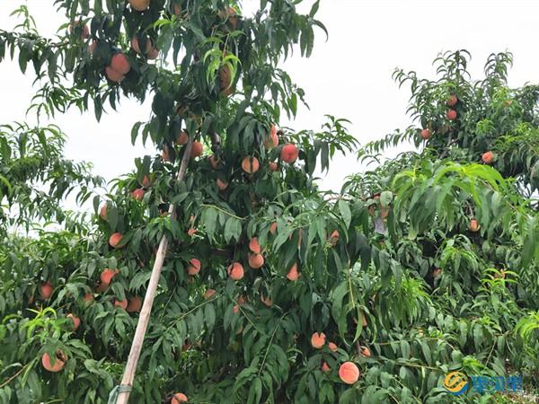 桃树盛果期怎么施肥?王总手把手教你