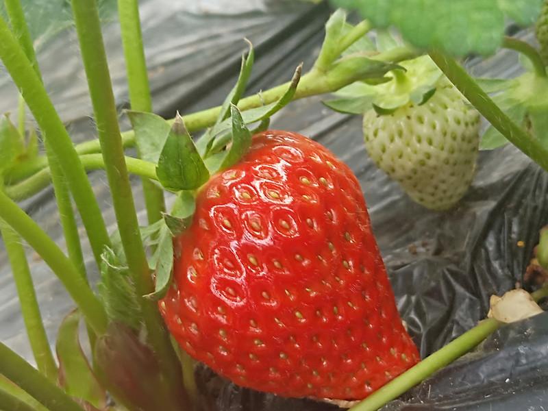 种草莓用什么肥料好
