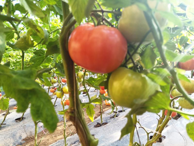 水溶肥-番茄