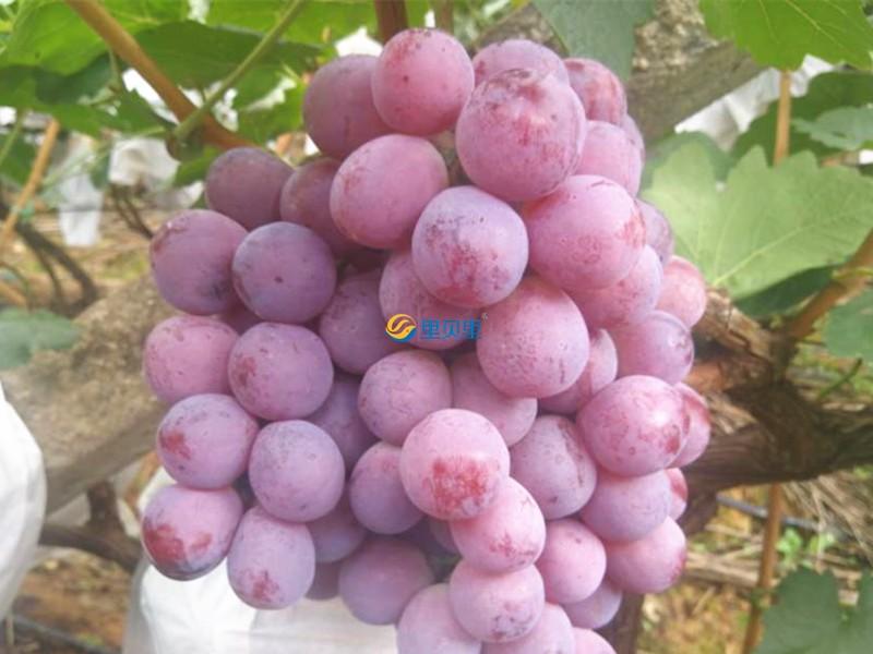 宴沃水溶肥-葡萄