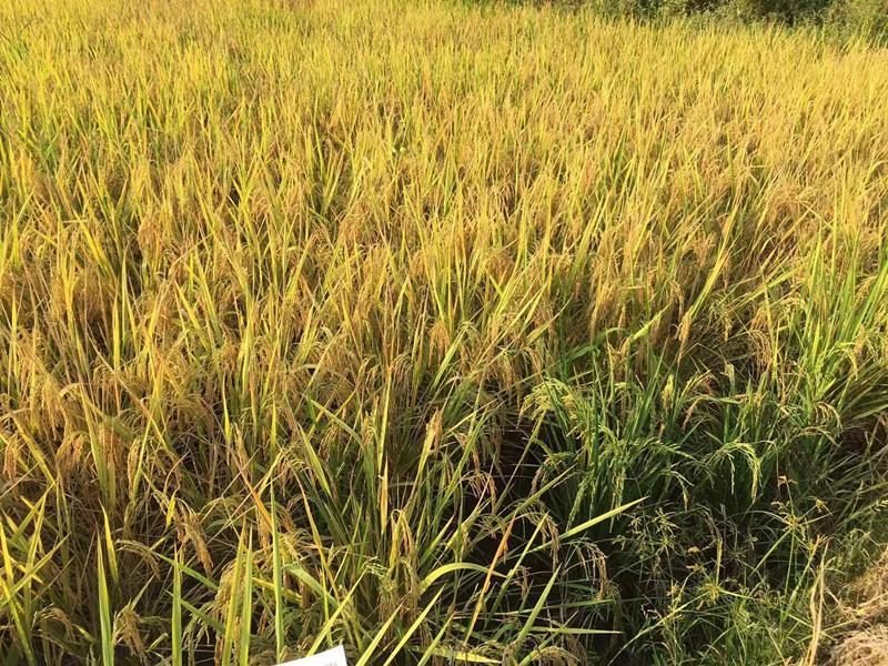 微量元素肥-水稻1