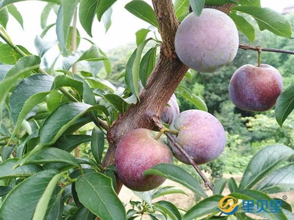 果树用什么肥可以快速生长?往这里看