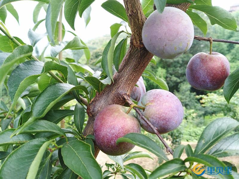 果树用什么肥可以快速生长-李子