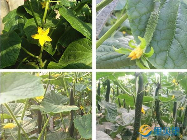黄瓜用什么肥料高产?