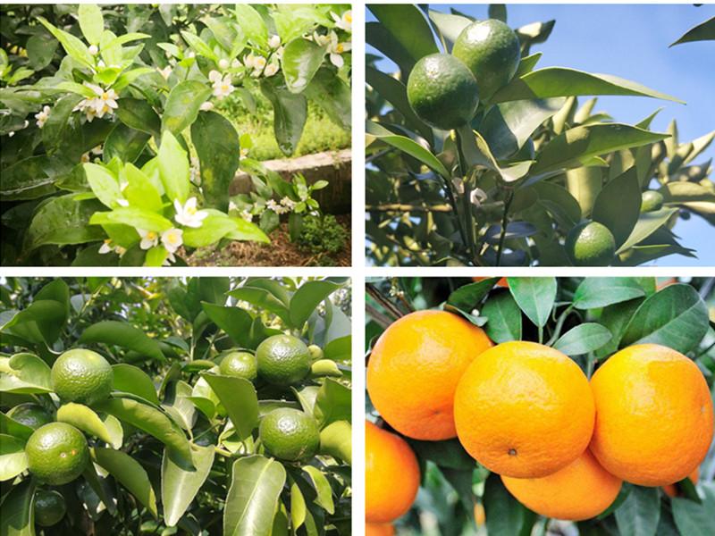 微生物菌剂-砂糖橘