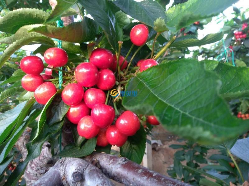 宴沃螯合硼肥-樱桃