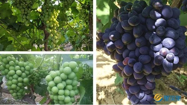 葡萄着色用什么肥料好?