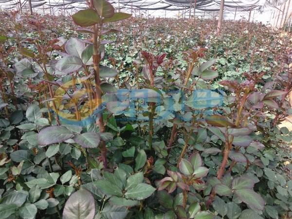 磷酸二氢钾-以翠玫瑰