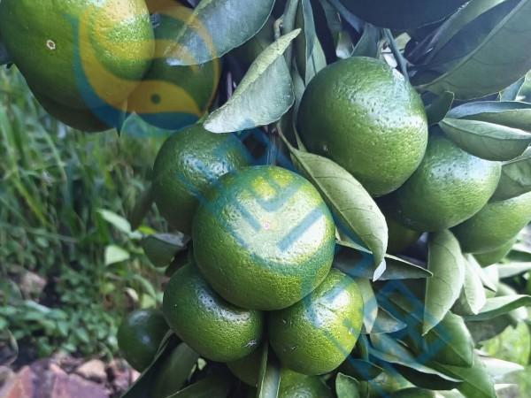 水溶肥-宴沃柑橘