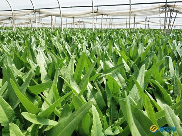 大棚蔬菜种植高峰期,注意重茬危害!!