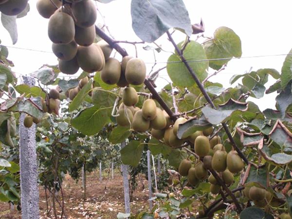磷酸二氢钾选择这样的,让你的作物更高产!