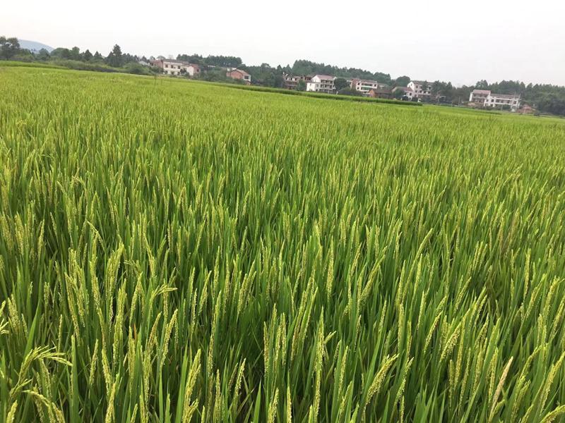 宴沃水溶肥-水稻