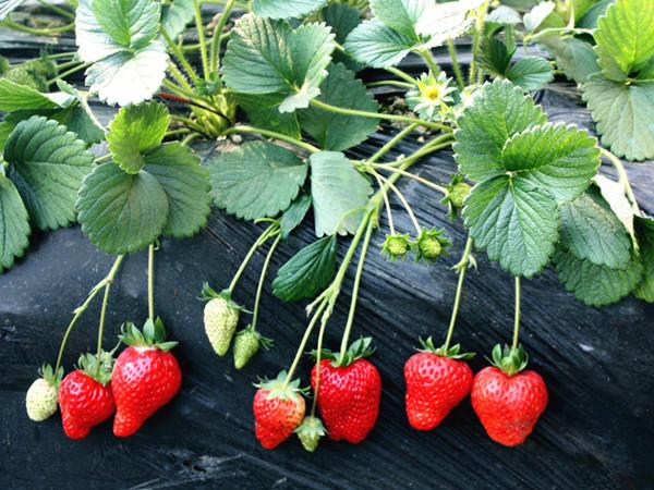微生物菌剂这样用,草莓才能长的好