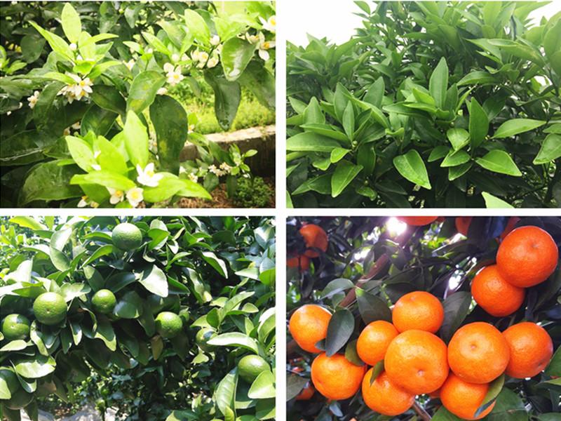 水溶肥哪家好-柑橘