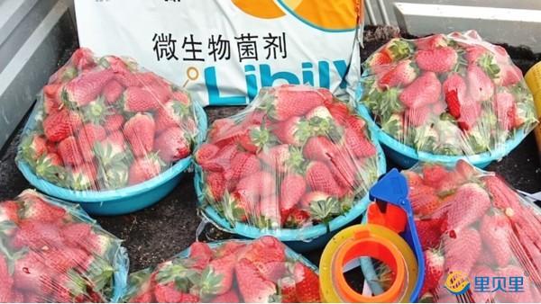 """进口水溶肥让草莓价格""""嫩么贵""""!"""