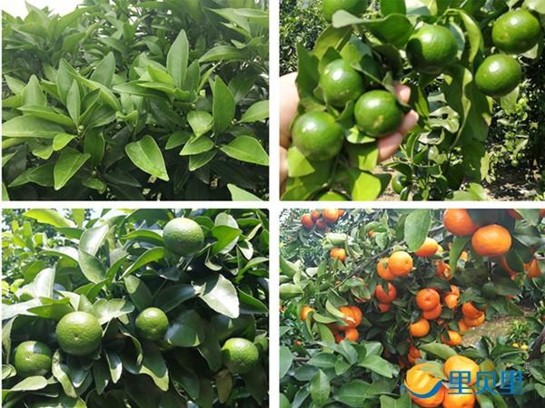 柑橘裂果高峰期已到,你知道要施什么肥吗?