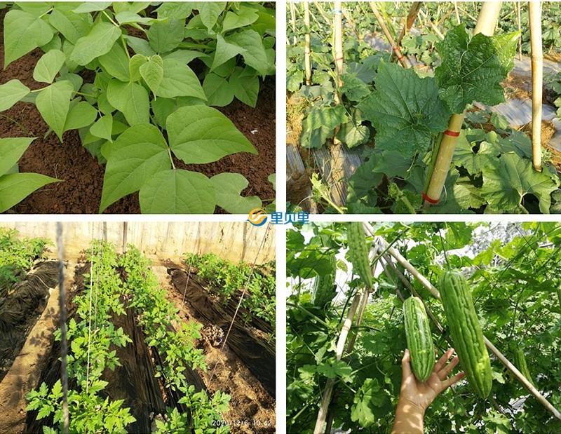 冬季蔬菜管理要点
