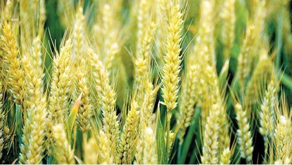 小麦叶面肥,用对了产量加倍,用错了辛苦白费