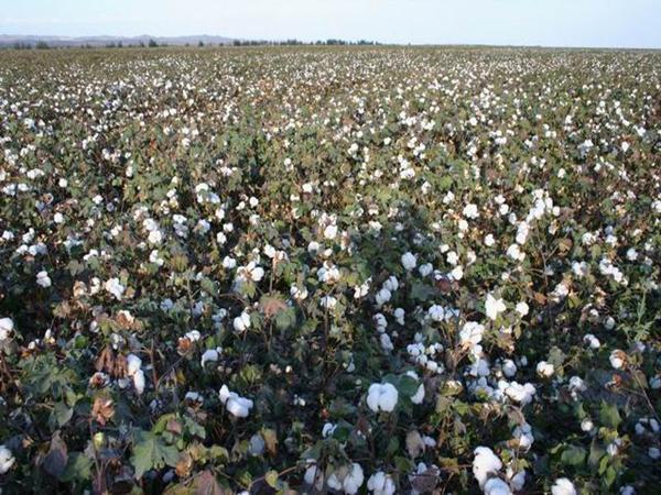 棉花生根剂用哪种好,王叔说选择宴沃就对了!