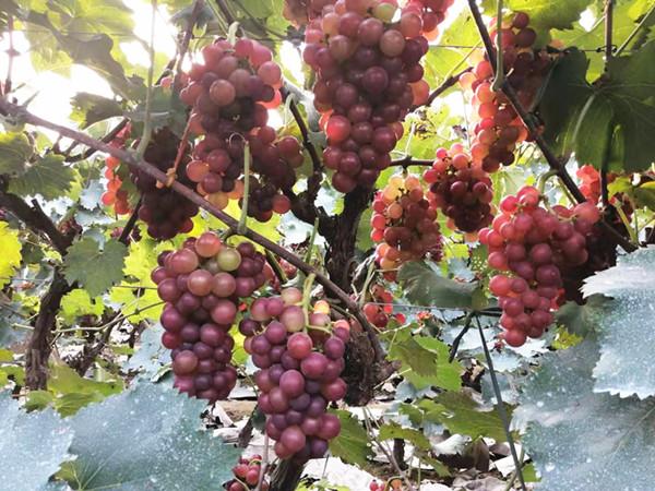 葡萄专用肥,选择里贝里施肥更方便