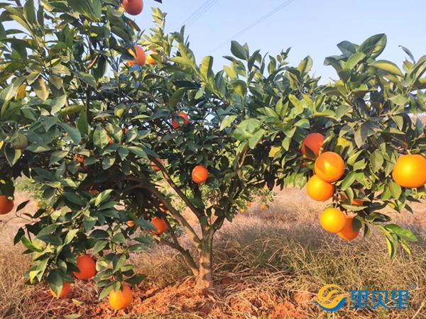 脐橙怎么施肥?选对肥料是关键