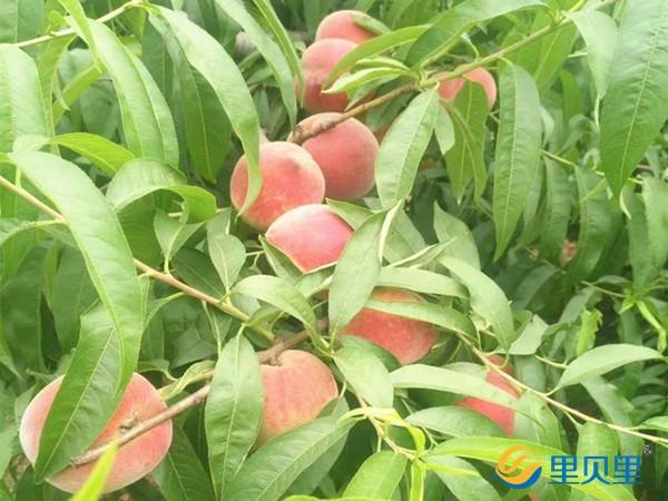 桃树施什么肥料桃子甜?刘经理说用宴沃就可以!