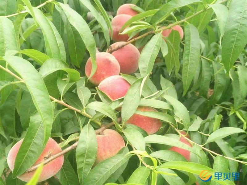 桃树施什么肥料桃子甜