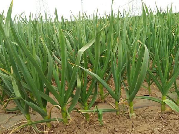 宴沃大量元素水溶肥,为什么种植者都信赖?