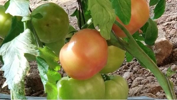西红柿转色期施什么肥?做好这3点就行了