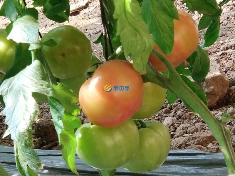 西红柿转色期施什么肥?