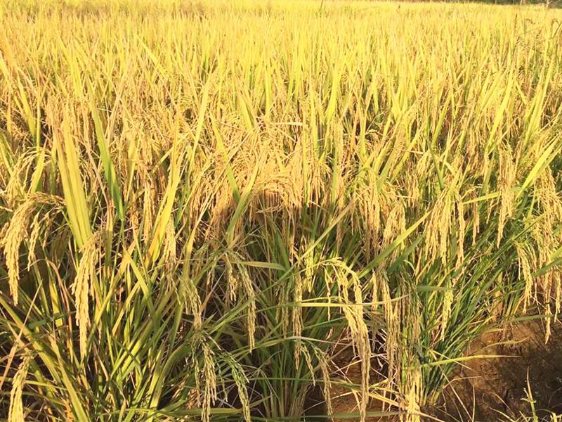 水稻叶面肥