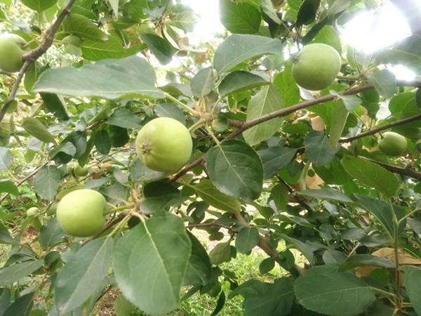 苹果施肥怎么才能卖相好?果农必看