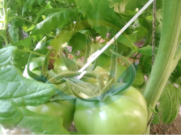 西红柿施肥用什么肥料好?王大哥赞不绝口