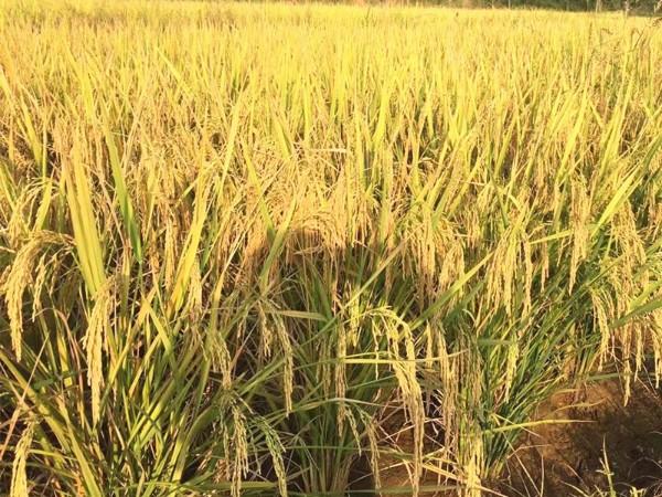 磷酸二氢钾厂家,飞防水稻都选它!
