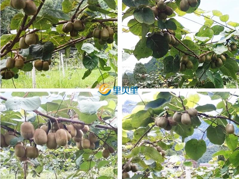里贝里水溶肥-猕猴桃
