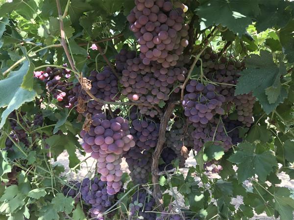 葡萄树施什么肥好