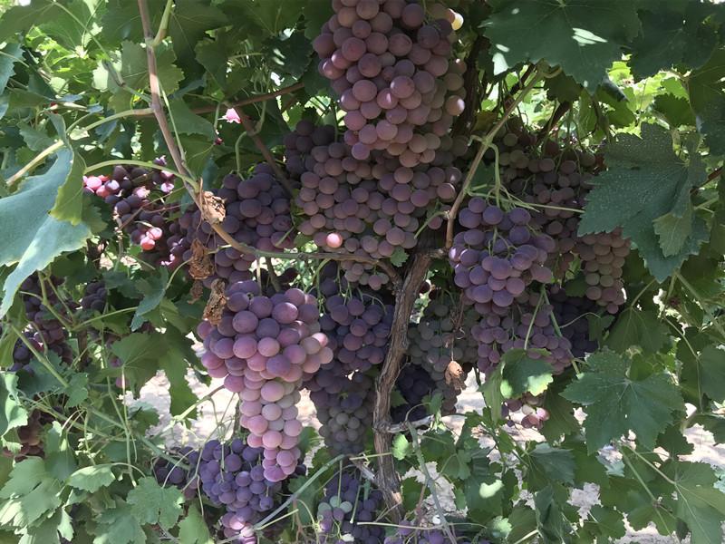 葡萄施什么肥好
