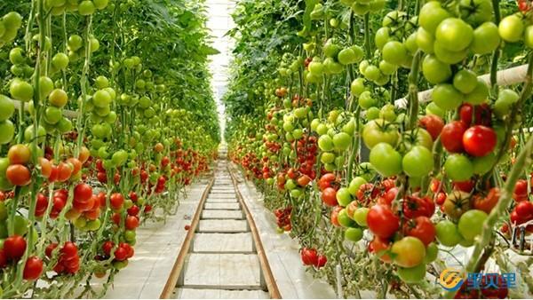 番茄怎么施肥能增加表面光泽?