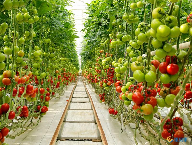 番茄怎么施肥能增加表面光泽