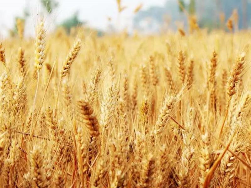 硼肥在小麦上的使用效果