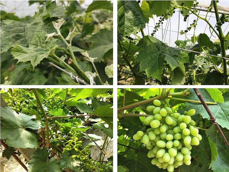 磷酸二氢钾生产厂家-葡萄