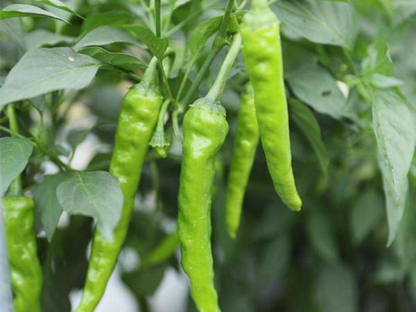 辣椒专用叶面肥效果怎么样?