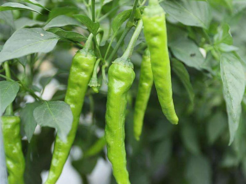 辣椒专用叶面肥